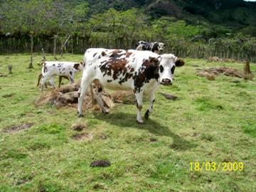 Resguardo de Mosoco, proyecto ganadero