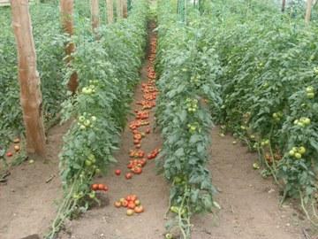 Aspectos de la cosecha de tomate de mesa