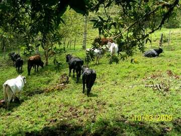 Reasentamiento en El Tambo, proyecto de ganadería