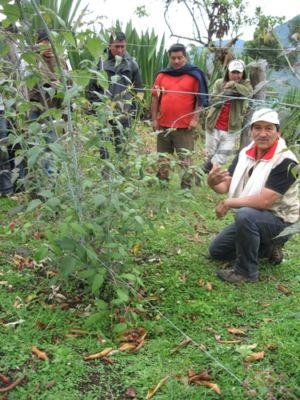 Proyecto productivo de mora Montecruz, resguardo de Vitoncó